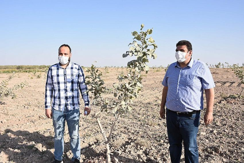 Kızıltepe'de çiftçilerin fıstık üretimine rağbeti artıyor