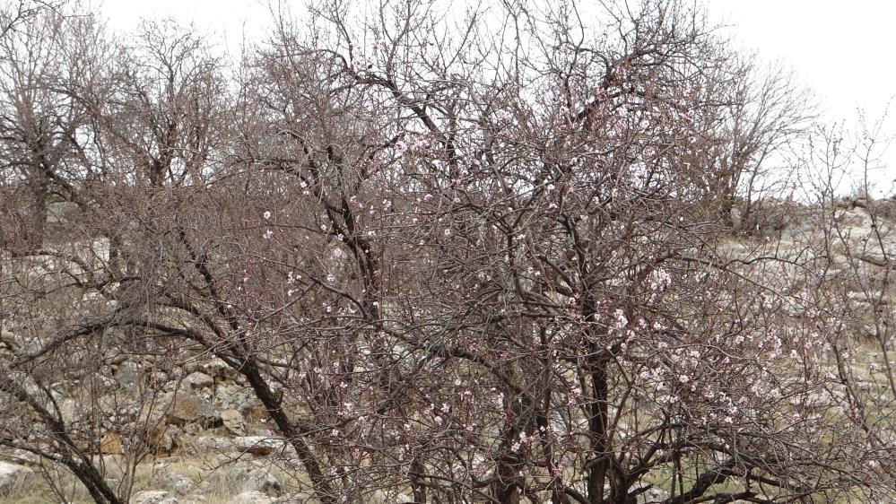 Mardin'de Badem ağaçları kış ortasında çiçek açtı