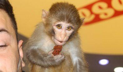 Bu maymun acı çiğköfte seviyor