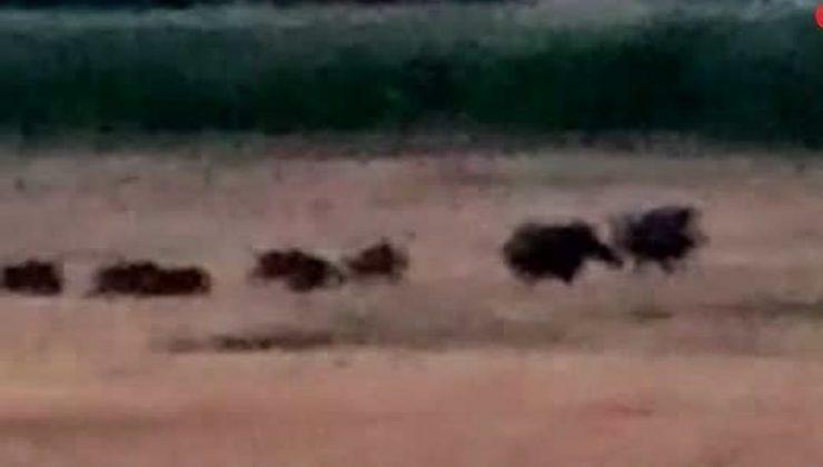 Mardin'de domuz sürüleri çiftçileri canından bezdirdi
