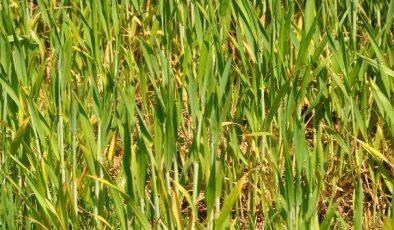 Kuraklıkla boğuşan çiftçiye borç uyarısı