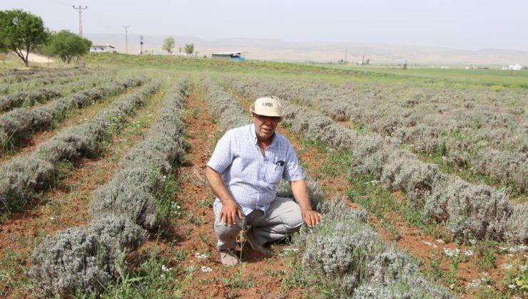 Mardinli çiftçi Lavanta ekimine geçti, elektrik faturasından kurtuldu